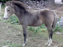 Irish Pony 128cms Dun Filly