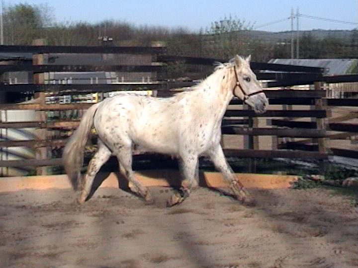 Irish Pony 148cms Appaloosa Gelding